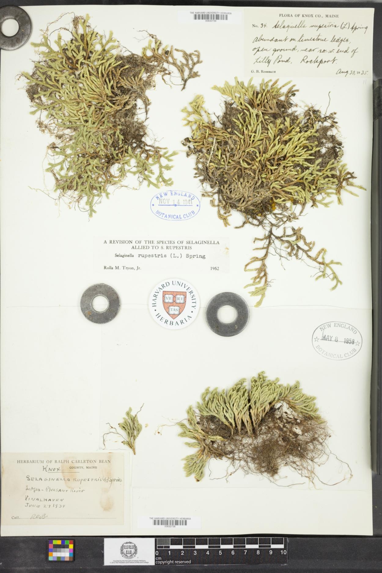 Selaginella image