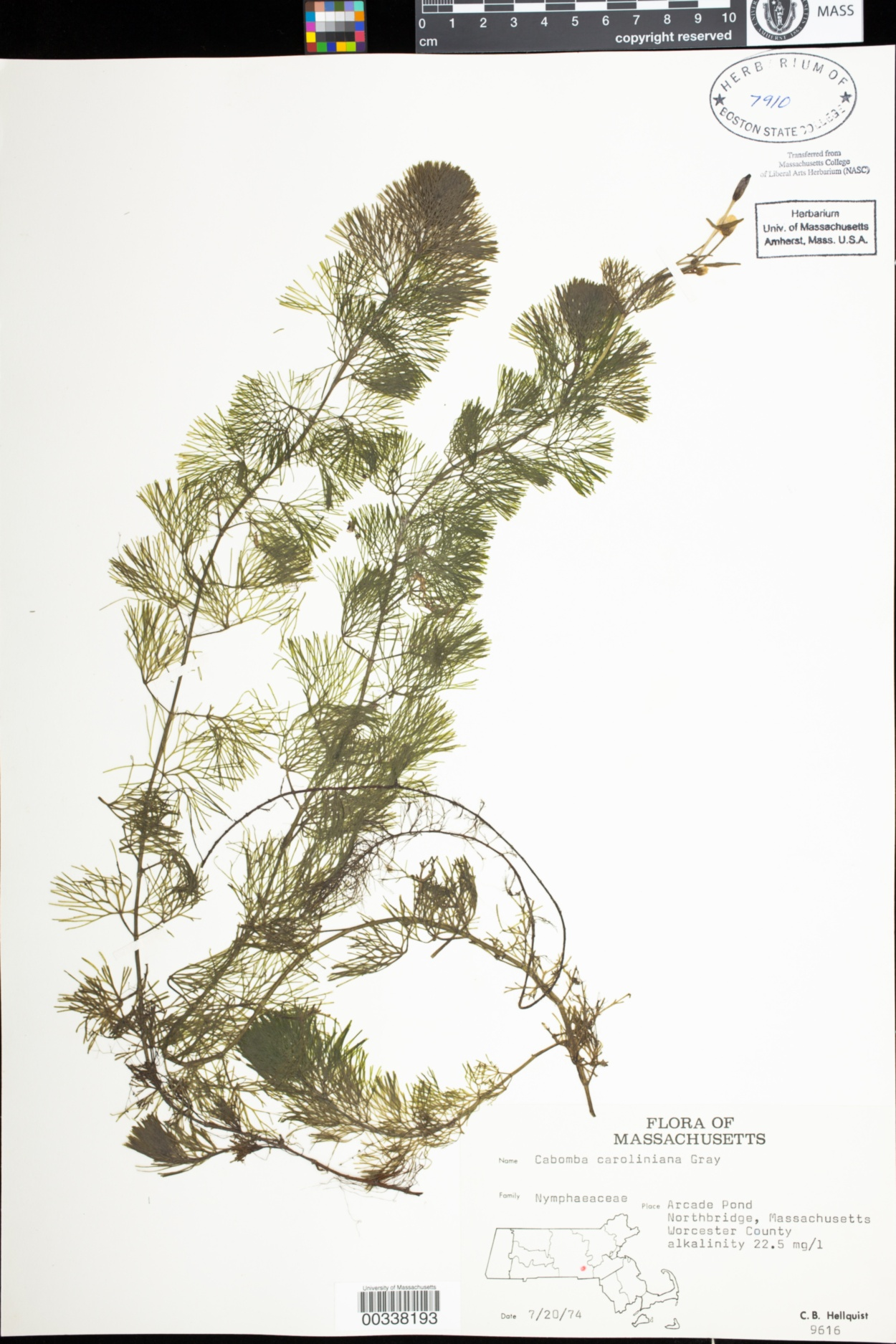 Cabombaceae image