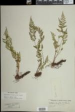 Image of Cystopteris tenuis