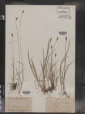 Carex alpina image