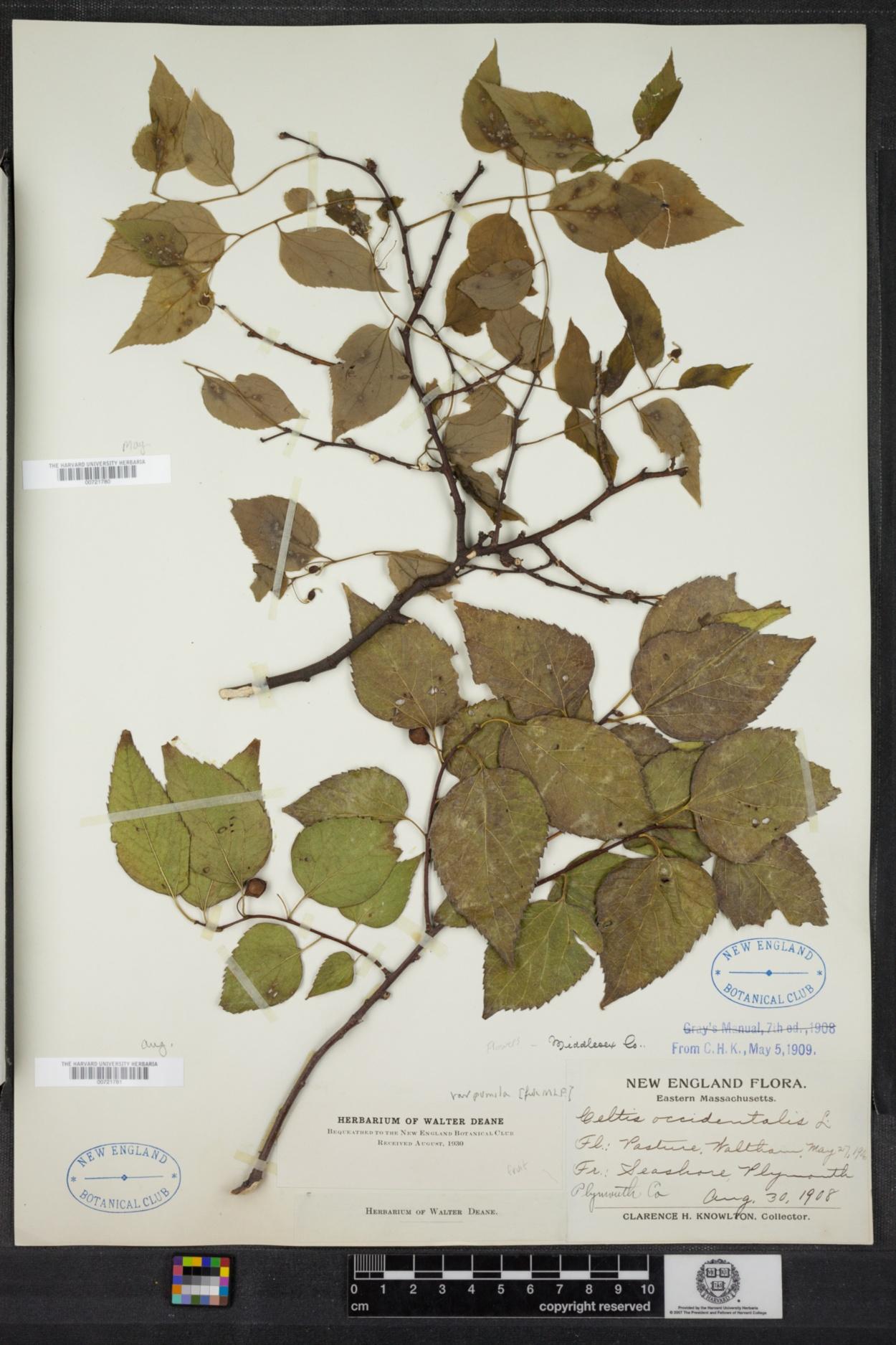 Cannabaceae image