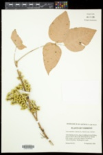 Toxicodendron radicans subsp. radicans image