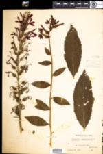 Image of Lobelia cardinalis