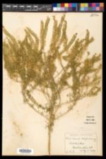 Lepidium densiflorum image