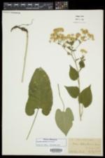 Eurybia schreberi image