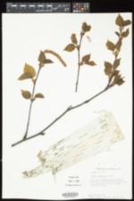 Betula cordifolia image