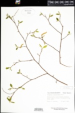 Carpinus caroliniana image