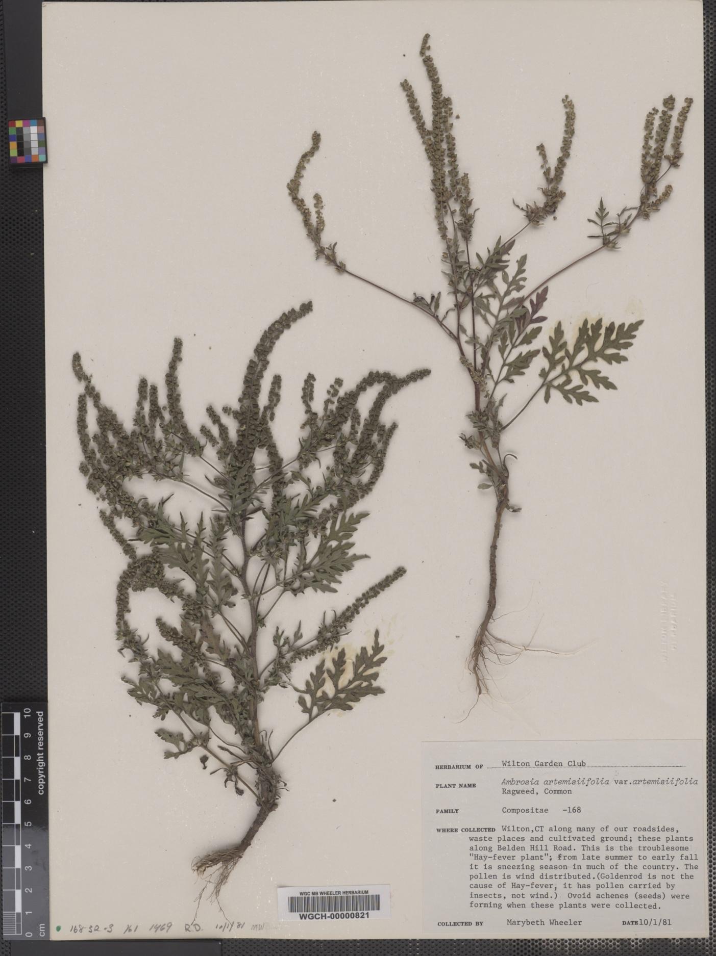 Ambrosia artemisiifolia var. artemisiifolia image