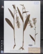 Image of Blephariglottis lacera