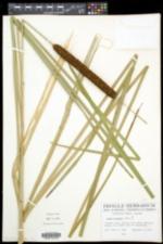 Typha × glauca image