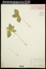 Cornus canadensis image