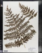 Image of Pellaea tripinnata