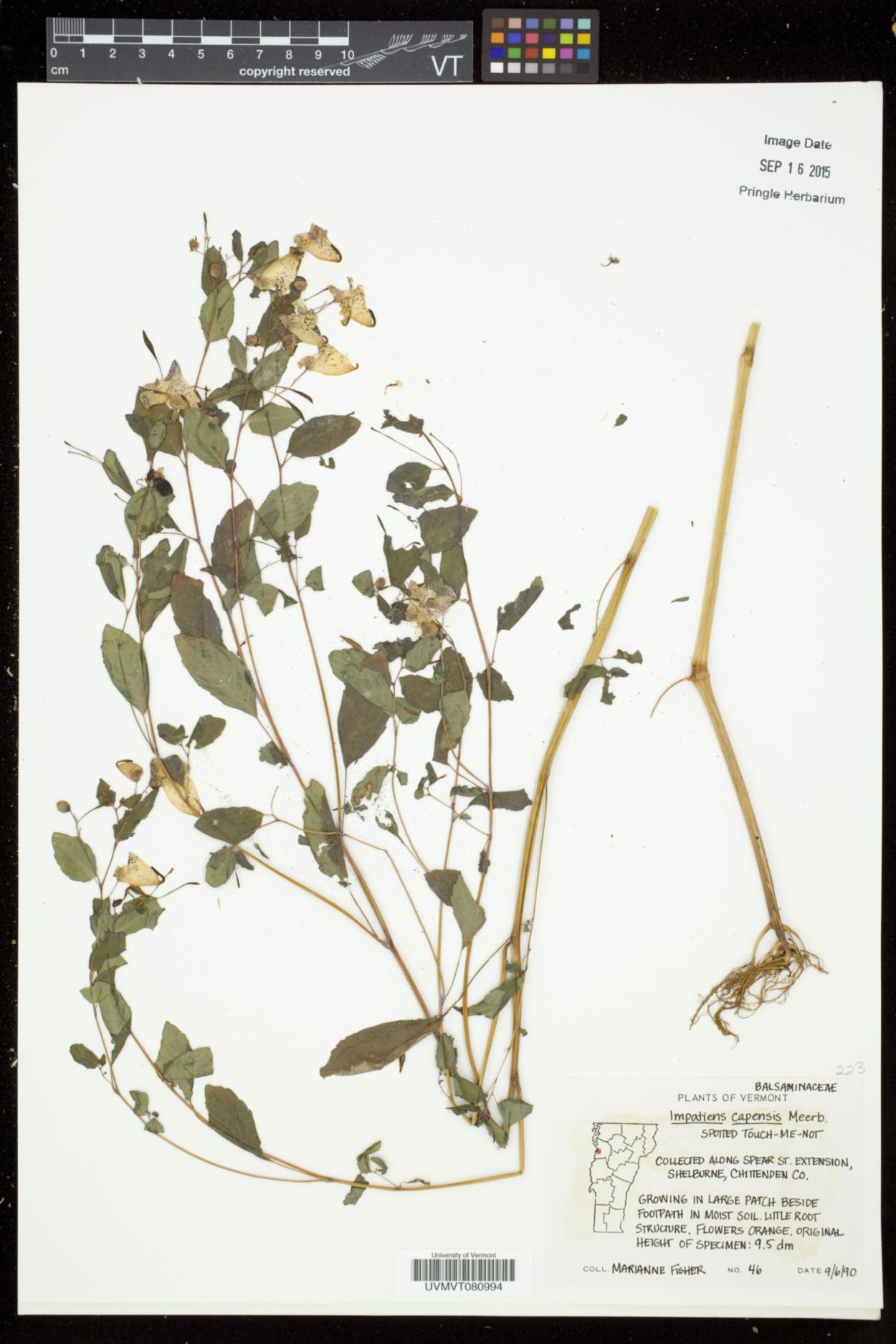 Balsaminaceae image