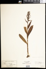 Image of Dactylorhiza viridis