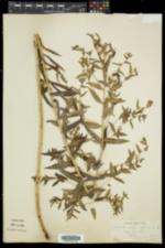 Lithospermum officinale image