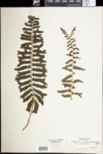 Image of Polystichum acrostichoides