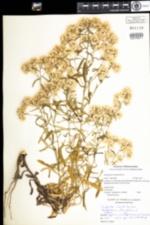 Image of Pseudognaphalium obtusifolium