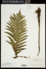 Matteuccia struthiopteris var. pensylvanica image