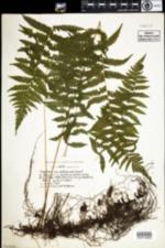 Image of Thelypteris simulata