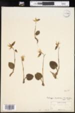 Image of Calypso bulbosa ssp. americana