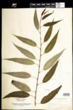 Image of Salix amygdaloides