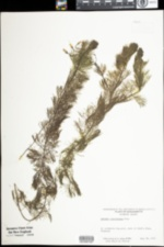 Cabomba caroliniana image