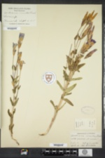 Gentianopsis crinita image