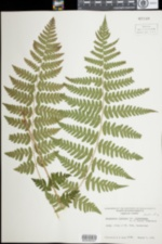 Image of Dryopteris clintoniana