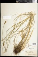 Image of Carex alata