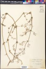 Galium album image