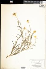 Image of Centaurea cyanus