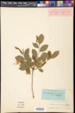 Rhododendron prinophyllum image