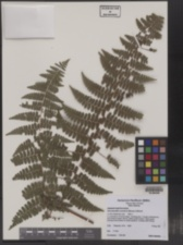 Image of Dennstaedtia scandens