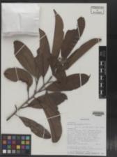 Image of Ocotea macrocarpa