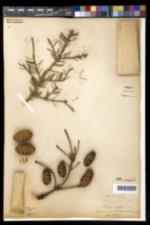 Image of Picea alba