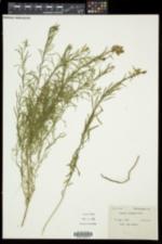 Linaria vulgaris image