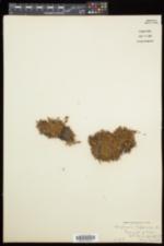 Diapensia lapponica var. lapponica image