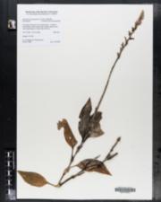 Image of Erythrodes plantaginea