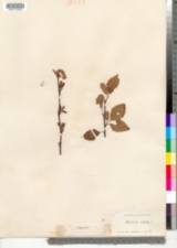 Image of Betula nigra