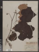 Vitis labrusca image