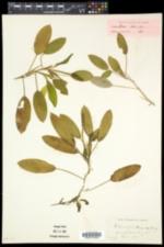 Image of Potamogeton faxonii