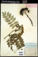 Sorbus scopulina image