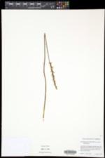 Spiranthes lacera var. lacera image