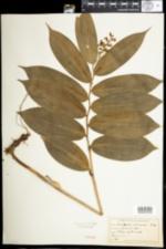 Image of Maianthemum racemosum