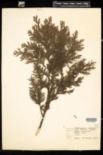 Image of Chamaecyparis lawsoniana