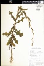 Image of Lactuca serriola