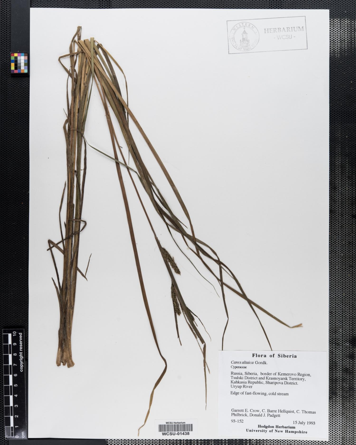Carex altaica image