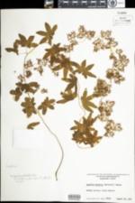 Image of Lygodium palmatum