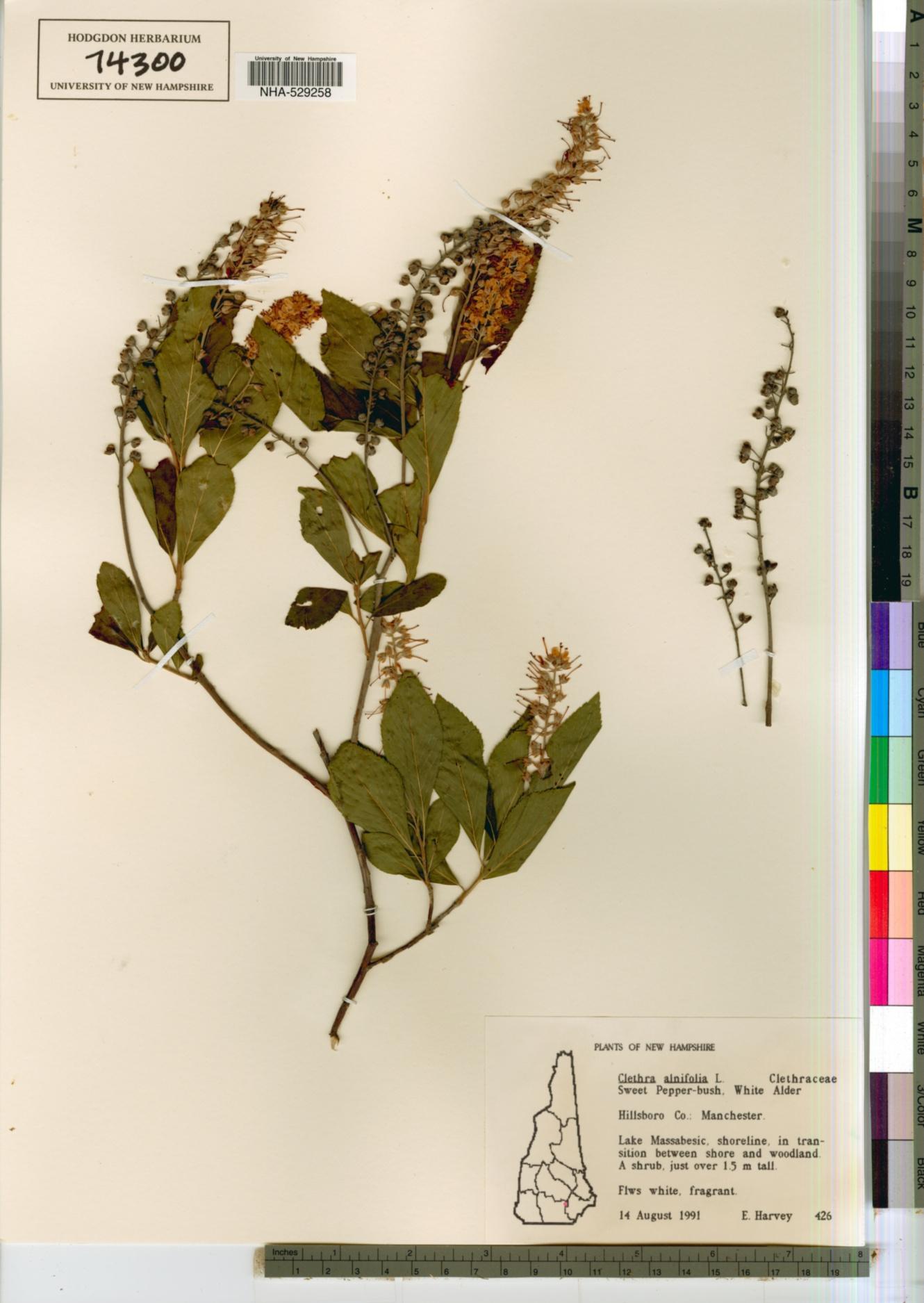 Clethraceae image