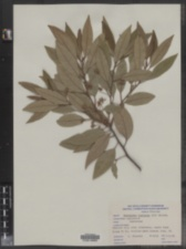 Image of Nectandra coriacea